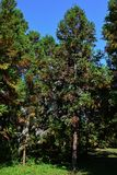 Autumn coniferous Sugi trees Cryptomeria Japonica with colorful needle-like leaves in arboretum. Autumn sunshine Stock Images