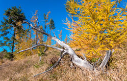Autumn coniferous trees Stock Images
