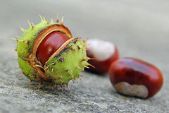 Autumn conker seed pod Stock Images