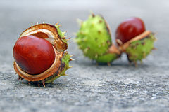 Autumn conker seed pods Royalty Free Stock Image