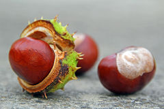 Autumn conker seed pods Royalty Free Stock Photo