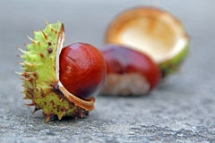 Autumn conker seed pods Stock Photo
