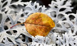 Autumn contrast nature concept. Beautiful textured brown leaf on decorative silvery wooly curly leaves plant Jacobaea Stock Photo
