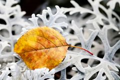 Autumn contrast nature concept. Beautiful textured brown leaf on decorative silvery wooly curly leaves plant Jacobaea maritima Sen. Ecio cineraria. Macro view Stock Images