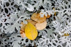 Autumn contrast nature concept. Beautiful textured brown yellow leaves on decorative silvery wooly curly leaf plant Royalty Free Stock Image