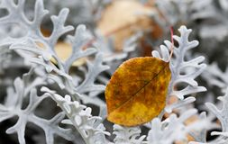 Autumn contrast nature concept. Brown leaf on decorative silvery whooly curly leaves plant Jacobaea maritima Senecio Stock Photography