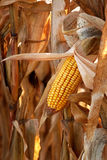 Autumn Corn Stock Image