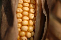 Autumn Corn. A closeup shot of golden corn, still in the husk and on the plant near the end of autumn Stock Photography