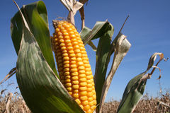 Autumn Corn / Bio-Fuel. Golden ear of corn in husk, ready for harvest against blue sky and field of corn. Horizontal format Royalty Free Stock Images