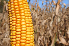 Autumn Corn / Bio-Fuel. Close-up of husked golden ear of corn ready for harvest against field of corn and hint of blue sky. Horizontal format Stock Photo