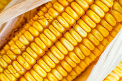 Autumn Corn Royalty Free Stock Photography