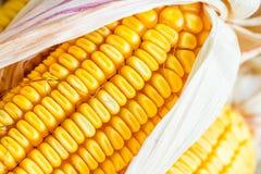 Autumn Corn Stock Images