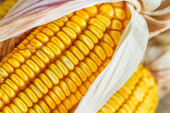Autumn Corn. Close up of yellow Autumn corn with husk Stock Photos