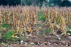 Autumn Corn dans la ferme Photo libre de droits