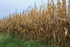Autumn corn field Stock Images