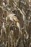Autumn Corn Field Royalty Free Stock Image