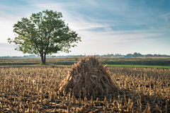 Autumn corn field Royalty Free Stock Images