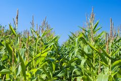 Autumn Corn Field Royalty Free Stock Image