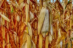 Autumn corn field with a corncob stock photography