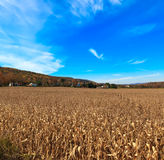Autumn Corn field in Pocono Mountains . Stock Photo