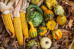 Autumn Corn and Gourds. Autumn corn with husks and a variety of gourds on leaves on the ground Royalty Free Stock Image