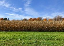 Autumn Corn Harvest scene and blue sky. Golden autumn corn waiting for harvest against the azure sky with feathery cirrus clouds Royalty Free Stock Photos