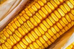Autumn Corn with husk. Close up of Autumn corn with husk Royalty Free Stock Photos