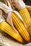 Autumn Corn with Husks Royalty Free Stock Image