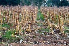 Autumn Corn in landbouwbedrijf Royalty-vrije Stock Foto