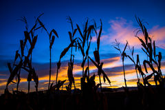 Autumn Corn Stalks no nascer do sol imagem de stock