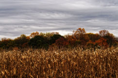 Autumn Corn Stalks, Trees, and Sky. A landscape image in the midst of the fall season showing harvested corn stalks, trees with leaves turning color, and a cloud Royalty Free Stock Image
