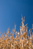 Autumn cornfield Royalty Free Stock Photos