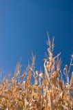 Autumn cornfield. Dried tall cornstalks lit by golden evening sun Royalty Free Stock Photos