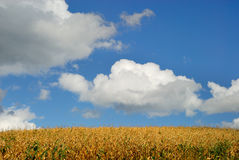 Autumn Cornfield Stock Images