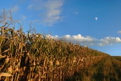 Autumn Cornfield. Lines of cornfield rows in autumn against a blue sky with moon Stock Photo