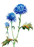 Autumn cornflowers Royalty Free Stock Image