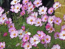 Autumn cosmos flowers Stock Photos