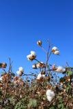 Autumn Cotton Time Stock Photo