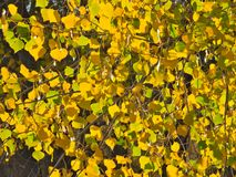 Autumn Cottonwood Leaf Background royaltyfri bild