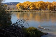 Autumn Cottonwoods och Coloradofloden på Fruita, Colorado Royaltyfri Bild