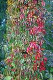 Autumn in the countryside,3. Autumn in the countryside 2016. Bregana Pisarovinska Croatia Europe,colourful ivy,3 Royalty Free Stock Photography