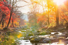 Autumn creek woods with yellow trees foliage Royalty Free Stock Photo