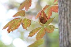 Autumn Creeper Fotografia Stock Libera da Diritti