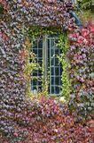 Autumn creeper around window Royalty Free Stock Image