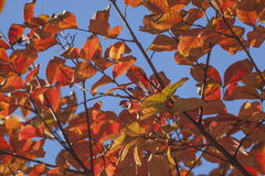 Autumn Crepe Myrtle Leaves and Branches. Turning yellow, orange and brown with the change of the season royalty free stock image