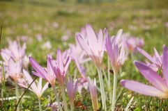 Autumn crocus Stock Photography