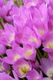 Autumn  crocus. Stock Photos