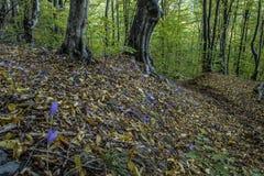 Autumn crocus.  Royalty Free Stock Images