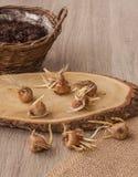 Autumn crocus bulbs next to  basket Stock Images