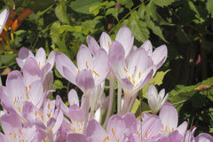 Autumn crocus (Colchicum autumnale) Stock Photography